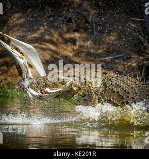 Nile crocodile in Kruger national park, South Africa ; Specie Crocodylus niloticus family of Crocodylidae - Stock Photo