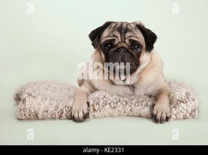 beautiful pug puppy dog lying down on fuzzy blanket, on pastel background - Stock Photo