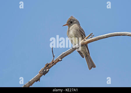 Greater Pewee  Contopus pertinax Carr Canyon, Huachuca Mountains, nar Sierra Vista. Arizona, United States 1 June - Stock Photo
