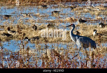 SANDHILL CRANE WADING IN BOSQUE DEL APACHE NATIONAL WILDLIFE REFUGE - Stock Photo