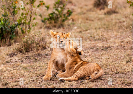 Lion cubs in the Masai Mara, Kenya - Stock Photo