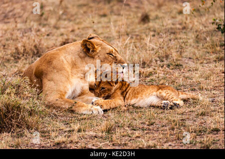 Female Lion with cubs in the Masai Mara, Kenya - Stock Photo