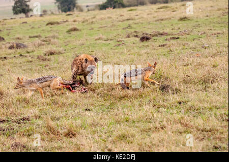 Huena and Jackal fighting for food in the Maasai Mara National Reserve - Stock Photo