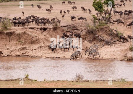Zebra and Widebeest on the Great Animal migration in the  Maasai Mara National Reserve - Stock Photo