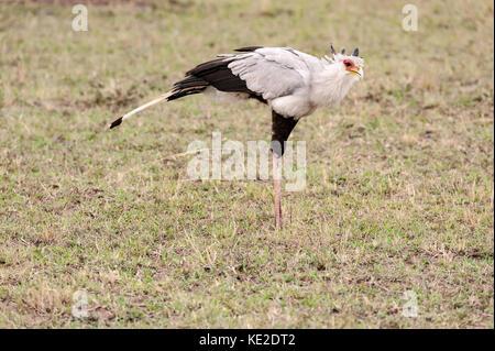 The secretary bird in the Massai Mara - Stock Photo