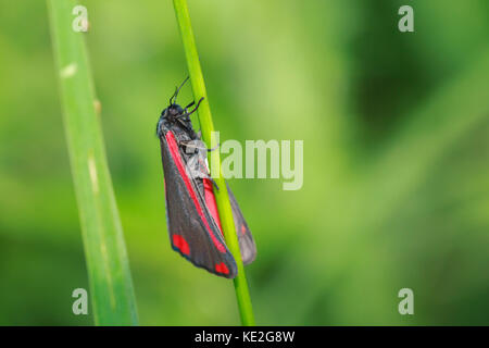 Cinnabar moth (Tyria jacobaeae) resting in a meadow drying his wings under the early morning sun. - Stock Photo
