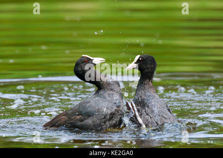 Close up of two Eurasian coots Fulica atra waterfowl showing aggression and fighting - Stock Photo