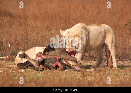 White Lions feeding on a wildebeest carcasse on a reserve in Gauteng Province, South Africa - Stock Photo