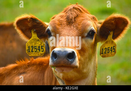 Cow headshot with identification tags in ears - Stock Photo