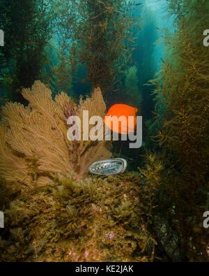 An orange Garibaldi and green abalone in a kelp forest, Catalina Island, California - Stock Photo