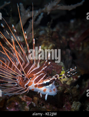 Lionfish in North Sulawesi, Indonesia.