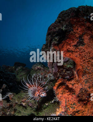 Lionfish on the reef in Komodo National Park, Indonesia.