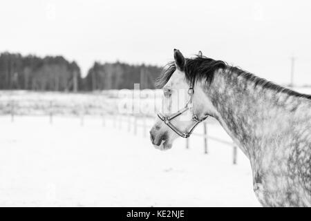 Grey dappled horse portrait in winter with copy space. Black and White equestrian background - Stock Photo