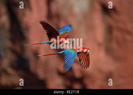 A pair of Red-and-green Macaws flying in Brazil - Stock Photo
