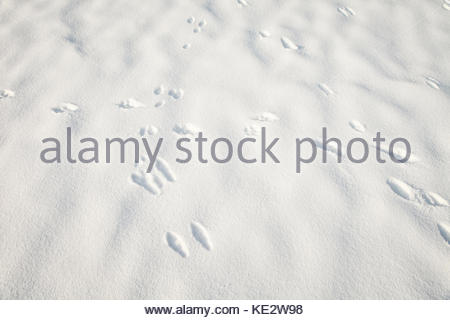 Dog's and rabbit footprints in the fresh snow. - Stock Photo