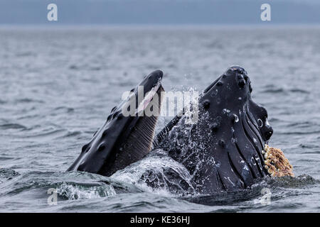 Humpback whale lunge feeding with mouth wide open in Broughton Archipelago Provincial Marine Park off Vancouver - Stock Photo