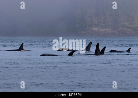 Northern resident killer whales in resting line in front of Plumper Islands off Vancouver Island, British Columbi, - Stock Photo