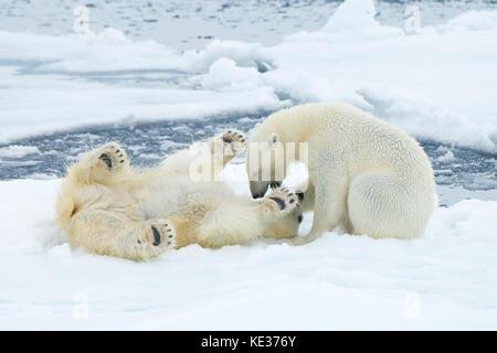 Adult female polar bears (Ursus maritimus) interacting on the sea ice, Svalbard Archipelago, Arctic Norway - Stock Photo