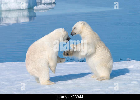 Two-year old polar bear cubs (Ursus Maritimus) playing, Svalbard Archipelago, Norwegian Arctic, - Stock Photo
