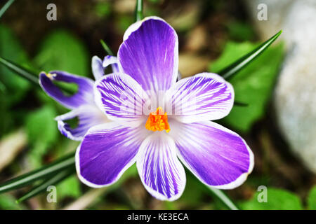 Crocus Pickwick detail. Top view Close up showing the peculiar purple and white striped petals - Stock Photo