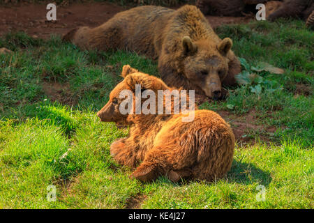Bears in the meadow, Cabarceno Natural Park, Spain - Stock Photo