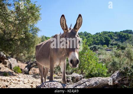 Donkey  in olive grove in Majorca, Spain - Stock Photo
