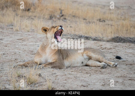 A yawning lioness in the Kgalagadi Transfrontier Park which straddles South Africa and Botswana. - Stock Photo