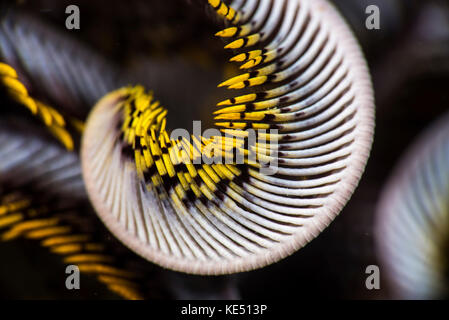 The curled arm of a crinoid, Anilao, Philippines. - Stock Photo