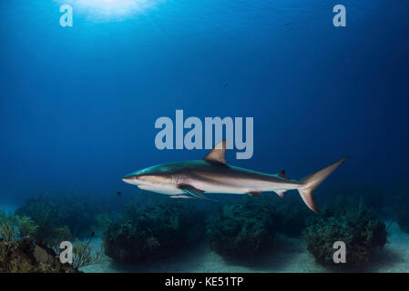 A reef shark swims over coral bommies in the Bahamas. - Stock Photo
