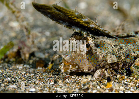 Fingered dragonet, Milne Bay, Papua New Guinea. - Stock Photo