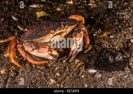 Atlantic rock crab, Maine. - Stock Photo