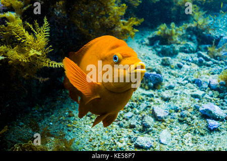Garibaldi rises from the seafloor, Catalina Island, California. Stock Photo