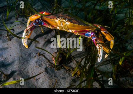 Rock crab, Puget Sound, Washington. - Stock Photo
