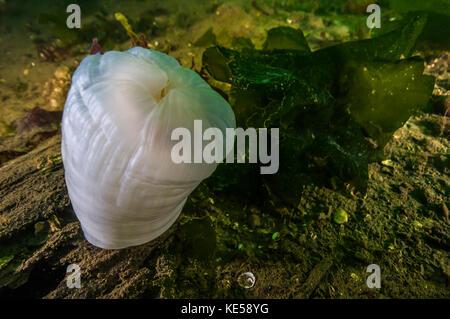 Giant plumose anemone Puget Sound, Washington. - Stock Photo