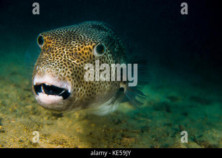 Starry puffer in Tioman Island, Malaysia. - Stock Photo