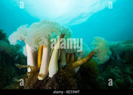 Giant plumose anemones in Prince William Sound, Alaska. - Stock Photo