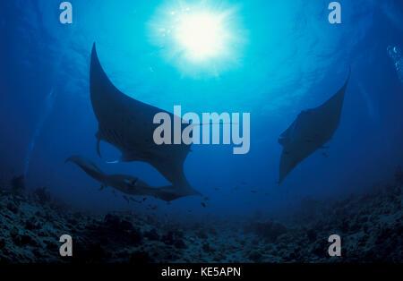 Three giant oceanic manta rays in the South Ari Atoll, Maldives - Stock Photo
