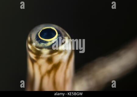 Eye of Giant Spider Conch, Lambis truncata, Marsa Alam, Red Sea, Egypt - Stock Photo