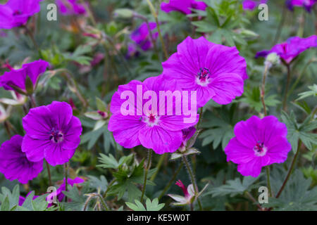 Large red-pink flowers of the compact spreading perennial bloody cranesbill, Geranium sanguineum 'Tiny Monster' - Stock Photo