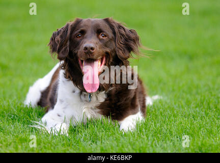Small Muesterlander dog relaxing on lawn - Stock Photo