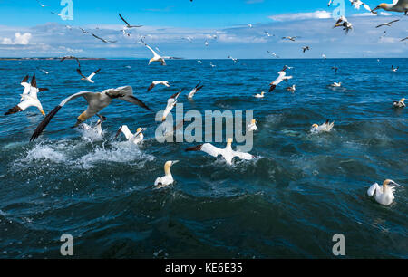 Gannets flying and diving for fish - Stock Photo