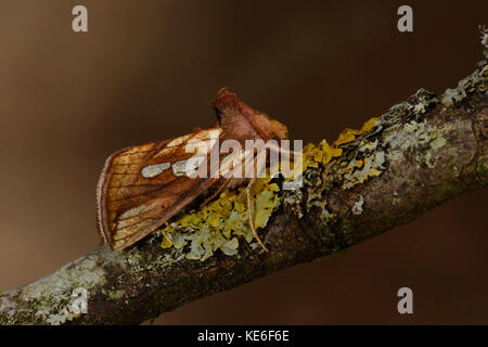 Gold Spot Moth (Plusia festucae) adult at rest on lichen covered twig, Monmouth, Wales, August - Stock Photo