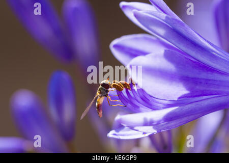 Female marmalade hoverfly (Episyrphus balteatus) on Agapanthus (african lily) flower in summertime,  Dorset, UK - Stock Photo