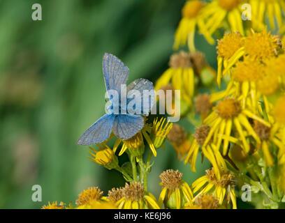 common blue butterfly, polyommatus icarus, feeding on a Ragwort flower, Jacobaea vulgaris, Lancashire, UK - Stock Photo
