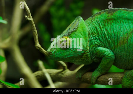 A chameleon looks at the camera on a branch in Devon, UK - Stock Photo