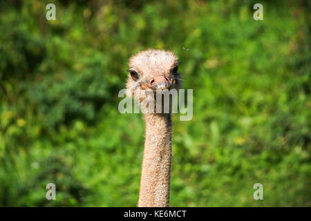 A headshot of an Ostrich in Devon, UK - Stock Photo