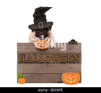 cute halloween pug puppy dog with witch hat and pumpkins and wooden board sign with letters halloween, isolated - Stock Photo