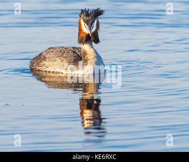 The Great Crested Grebe (Podiceps cristatus) is a member of the grebe family of water birds and is found in Europe, - Stock Photo