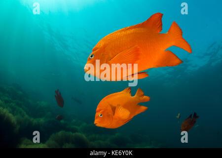 Garibaldi Fish, Hypsypops rubicundus, Catalina Island, California, USA