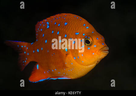 Juvenile Garibaldi Fish, Hypsypops rubicundus, Catalina Island, California, USA Stock Photo